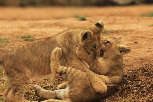 狮子王里两脚站起来的小动物